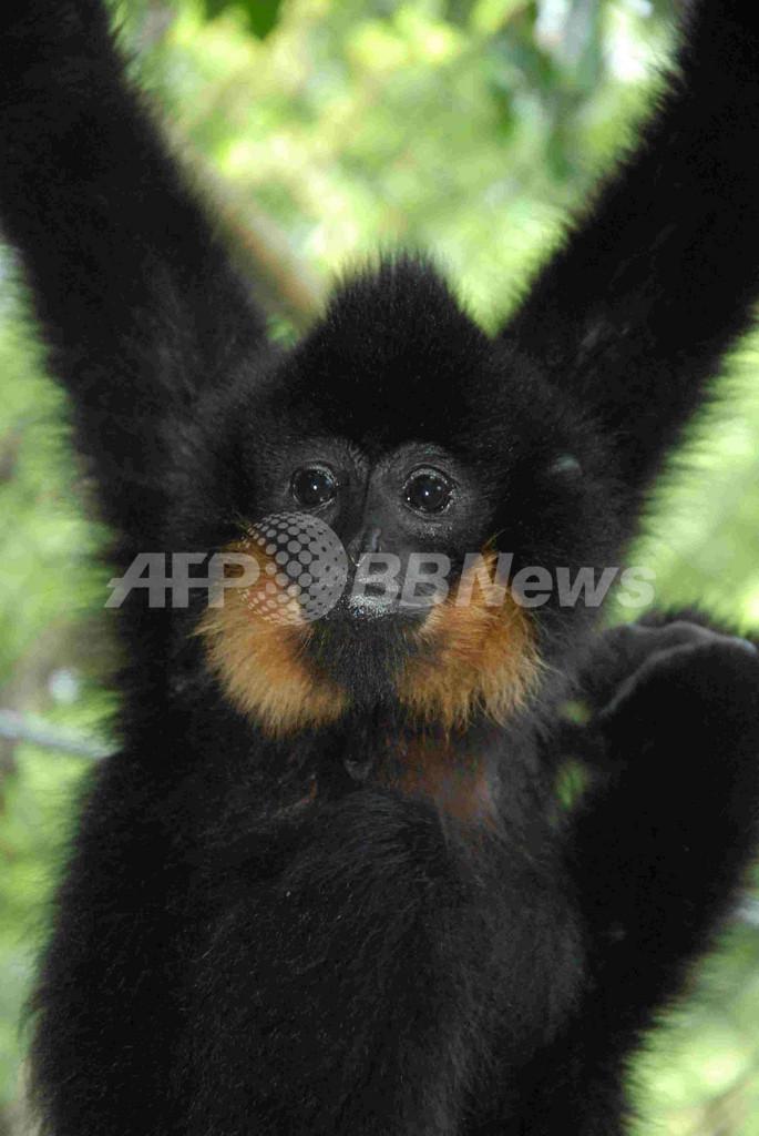新種テナガザルを発見、東南アジアの熱帯雨林で
