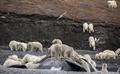 ホッキョクグマ約200頭、陸地に集まる 気候変動の影響か