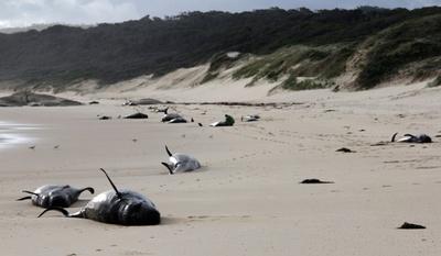 クジラ28頭死ぬ、豪南東部の浜辺に打ち上げ 原因は不明