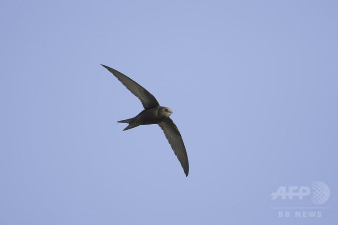 10か月飛び続けるアマツバメ、鳥類の連続飛行記録を更新