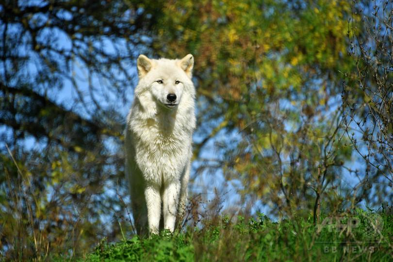 仏政府、オオカミ生息数の増加計画発表 牧場主の怒りよそに