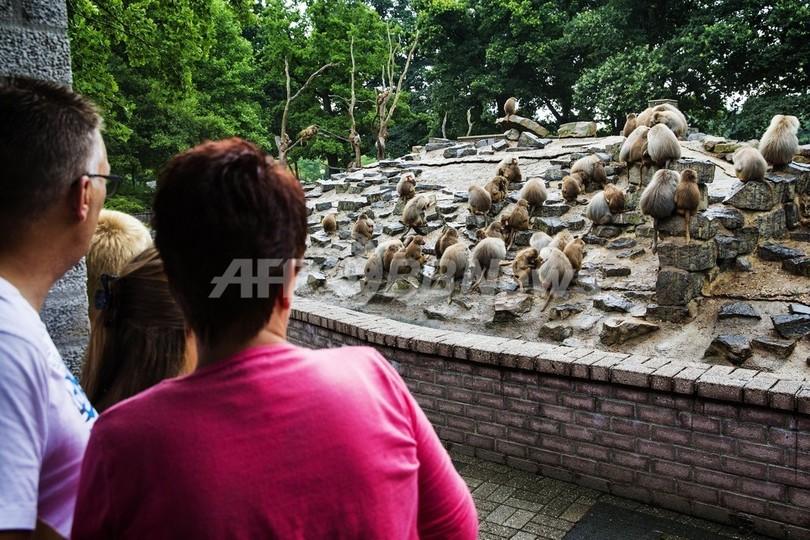 動物園のヒヒが奇妙な行動、専門家も解明できず オランダ