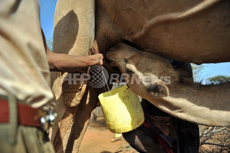干ばつに強く栄養価高い「ラクダの乳」、世界的ヒットなるか ケニア