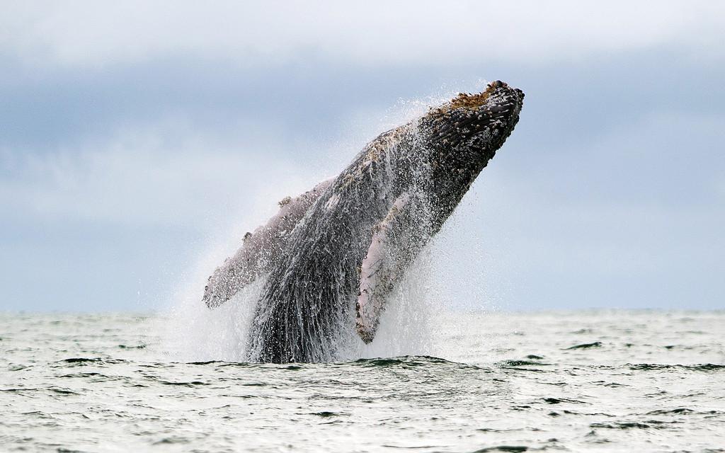 ザトウクジラ個体群、大半が絶滅危機脱す 米NOAA