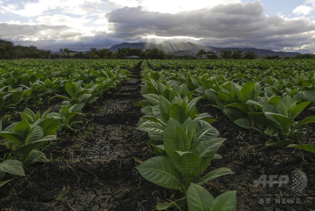 75%の水で育つ作物、遺伝子組み換えで開発 研究