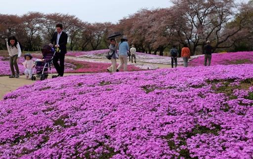 一面ピンク、芝桜がシーズンに 群馬