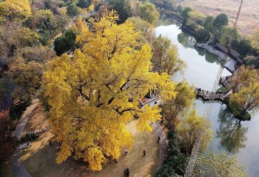 「上海の樹王」と呼ばれる1200歳を超えた古イチョウ、最高の鑑賞時期を迎える