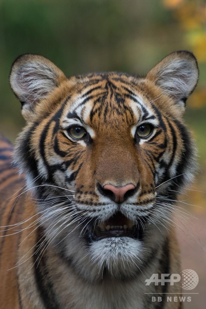 米NY動物園のトラが新型コロナ陽性、無症状の飼育員から感染か