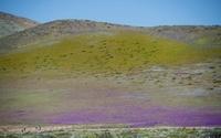 砂漠が花畑に、チリの自然現象