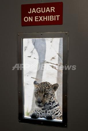 隣部屋のライオンに興味津々のジャガー、米サンディエゴ動物園