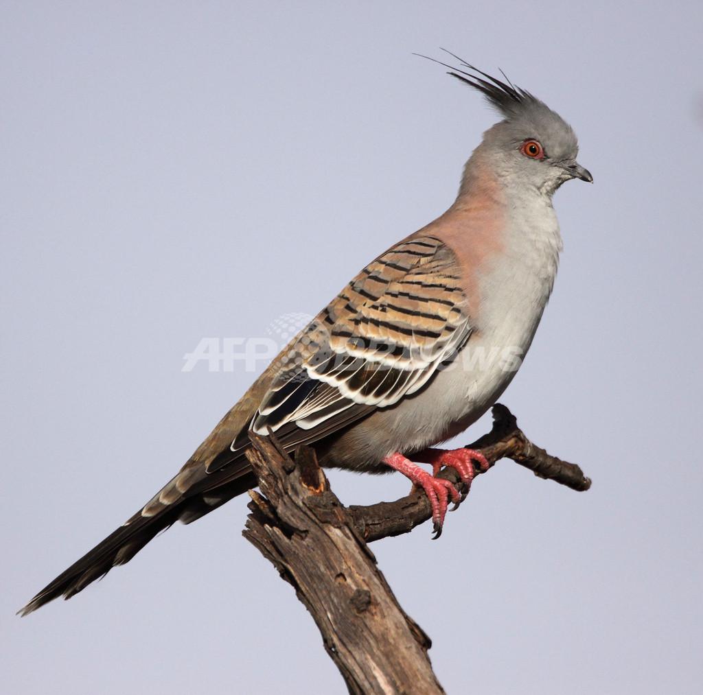 レンジャクバトの警告音は「羽ばたき」、オーストラリア国立大