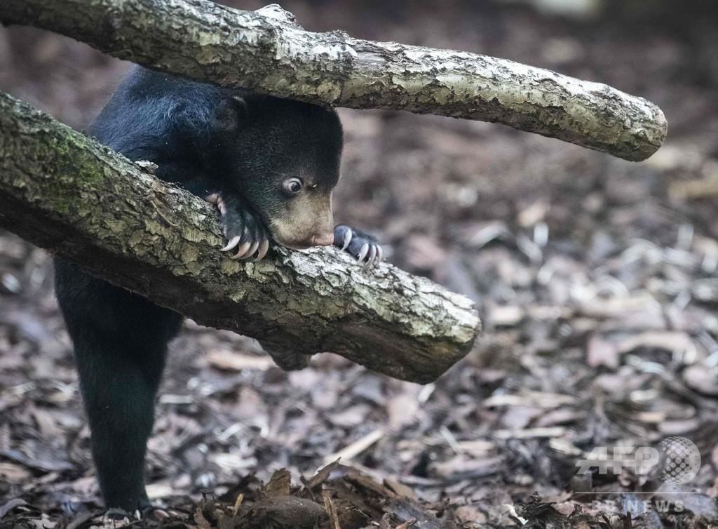「木登りがんばるよ」マレーグマの赤ちゃんがデビュー、オランダ動物園