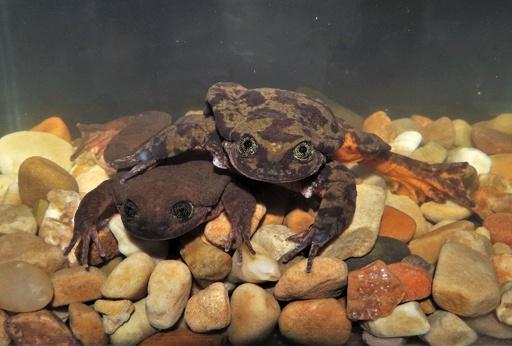 やっと会えた…独りぼっちのカエル「ロミオ」が「ジュリエット」と対面 ボリビア