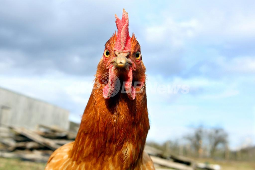 <鳥インフルエンザ>ウェールズで低病原性鳥インフルエンザ、4人感染