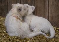 そろってお昼寝、ホワイトライオンの赤ちゃん 仏動物園