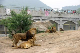 ライオンが飼育係殺し脱走、警察が射殺 中国