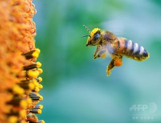 ネオニコチノイド系殺虫剤で、ミツバチの精子減少