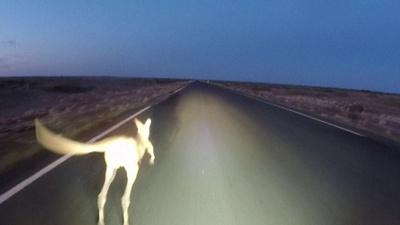 動画:豪干ばつ、野生動物が直面する危機的状況 交通事故も急増