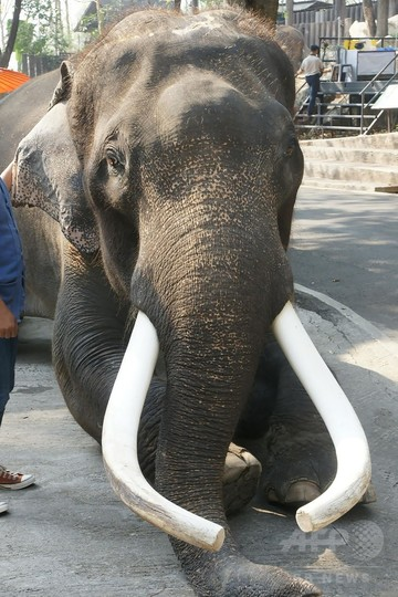 映画にも出演の有名ゾウ、飼い主を襲い死なす タイ