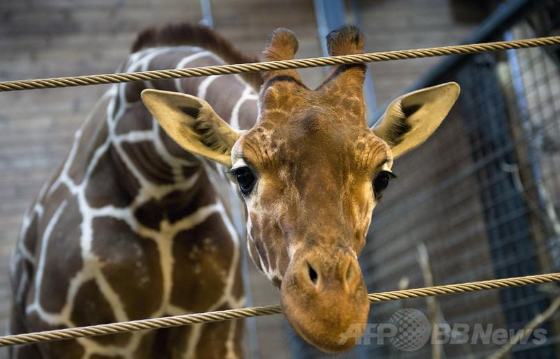 デンマーク、動物園のキリンまた殺処分か
