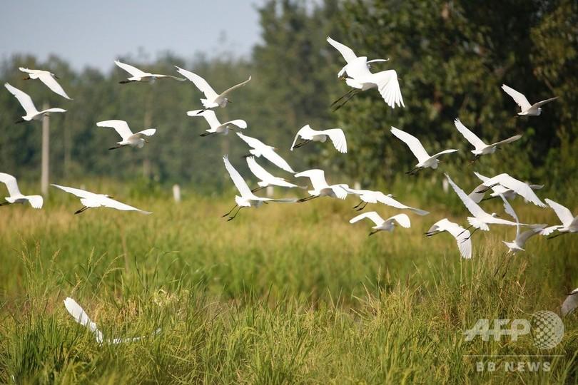 「蝦稲共作」のモデル地域に集まるシラサギの群れ 江蘇省