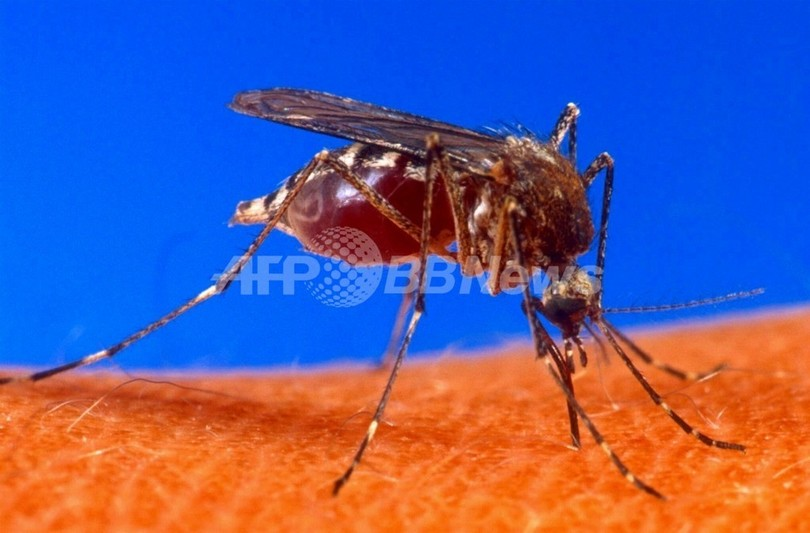 蚊に細菌を感染させて伝染病の拡大を抑制、豪研究