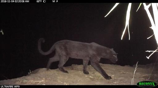 動画:野生「クロヒョウ」の撮影に成功、アフリカでの生息確認 研究