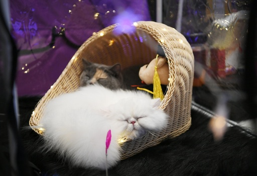 長春で猫のコンテスト 100匹超のニャンコが集結
