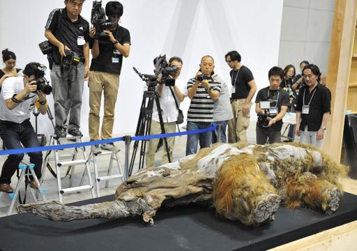 マンモスの「ユカ」、横浜で特別展開催
