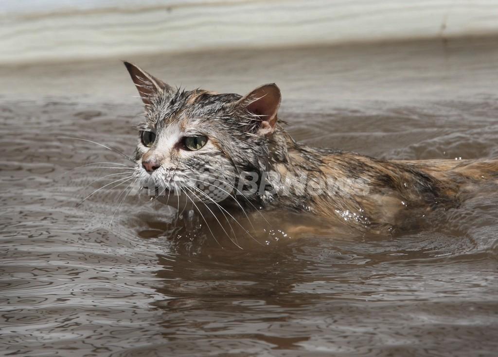 ネコが新型インフルに感染、世界初 米アイオワ州
