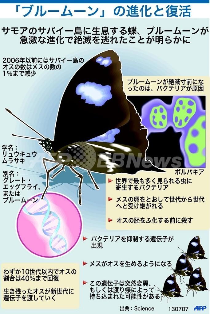 復活した幻の蝶、「ブルームーン」