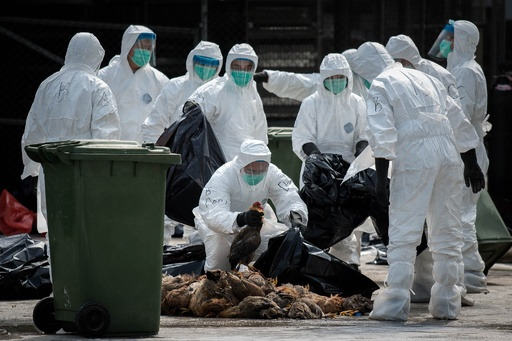 H7N9型鳥インフル、香港でニワトリ2万羽の殺処理