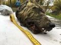 3万2000年前のオオカミの頭部、ロシアの永久凍土で発見