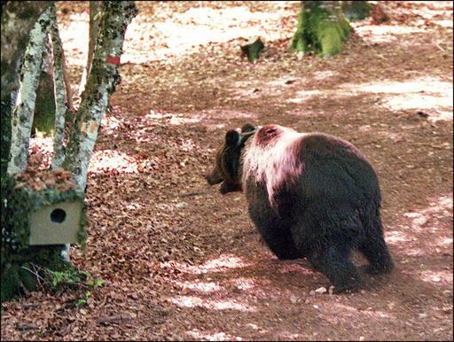 ピレネー山脈のヒグマ、生息数維持は「父さん」頼み