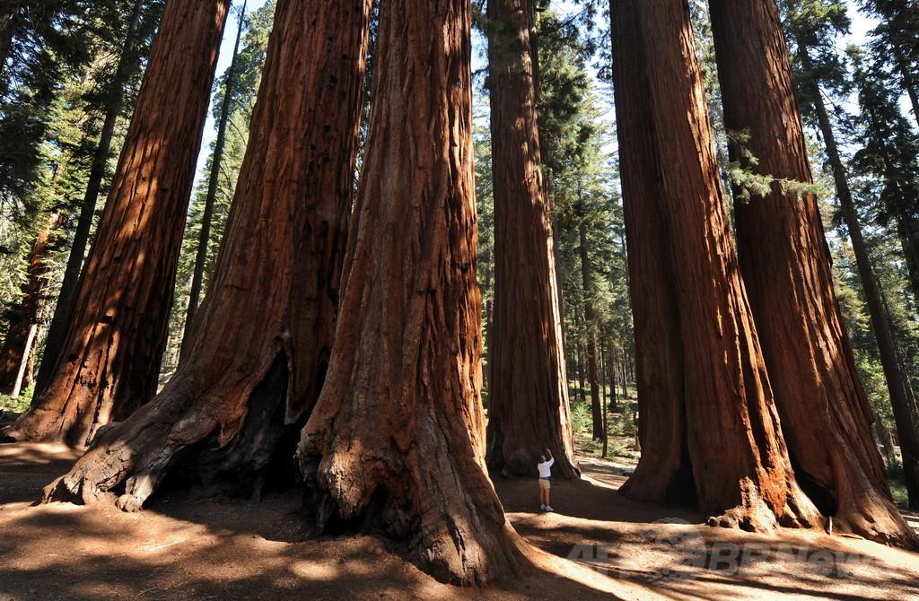 古い大木の方がCO2を吸収、定説覆す発見