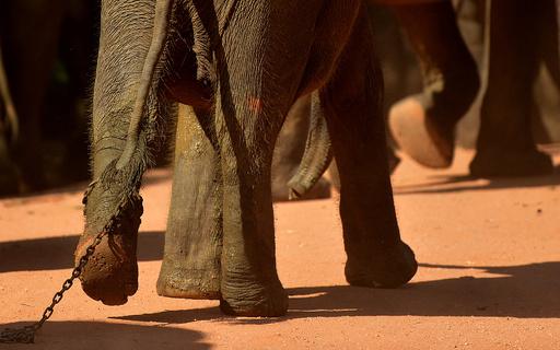仏教の高僧、飼育されていたゾウに襲われ死亡 スリランカ