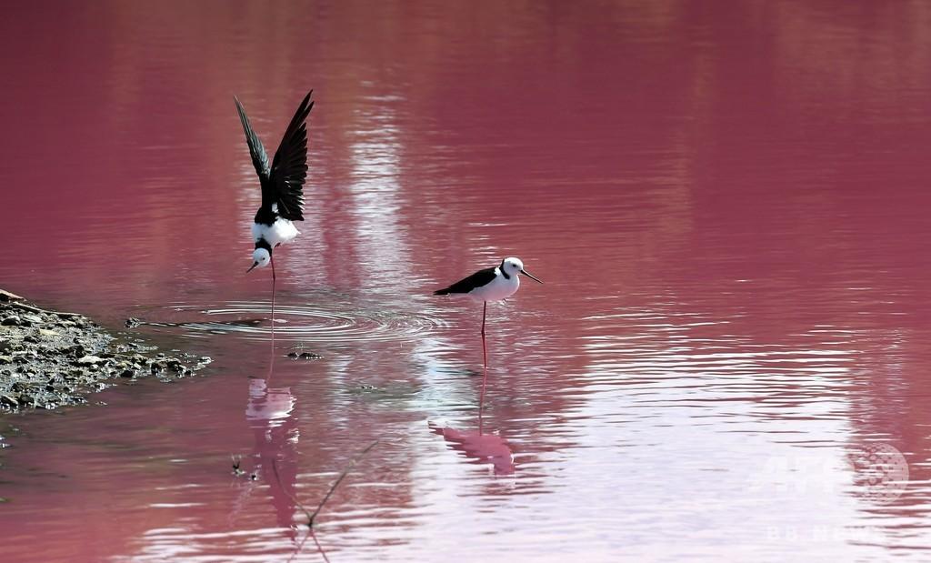 湖が鮮やかなピンク色に…! その原因は? 豪・メルボルン郊外