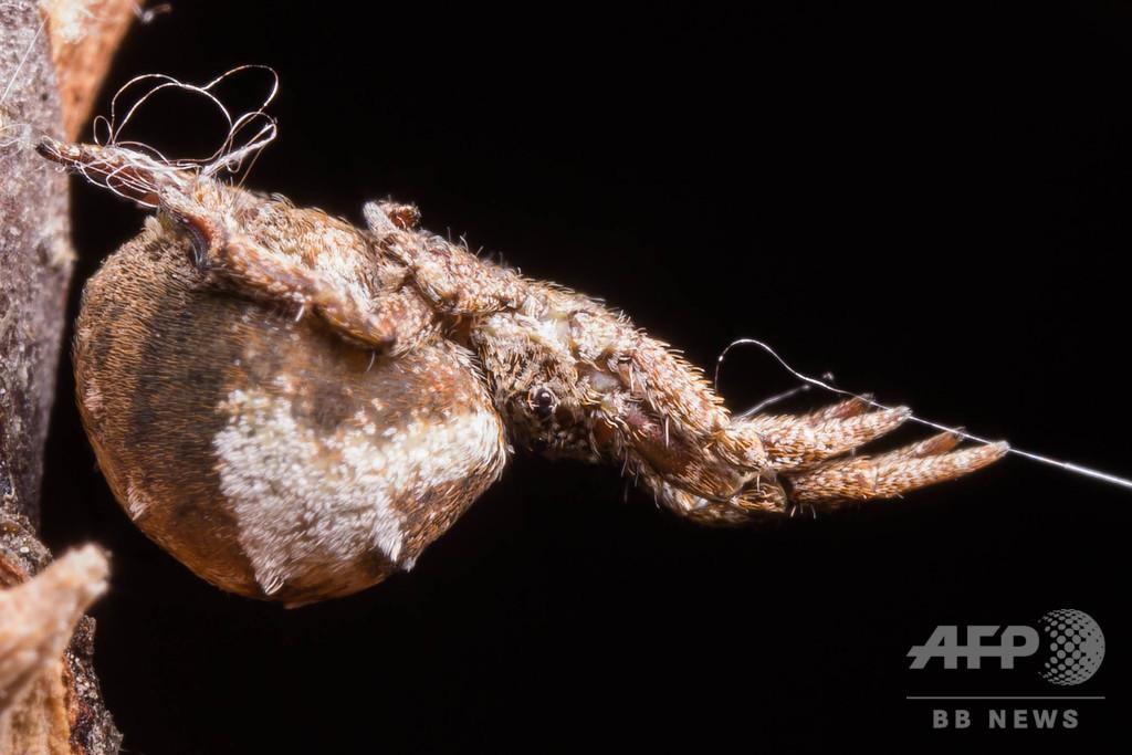 巣の糸の張力で自らを「発射」 クモの捕食行動を解明 米研究