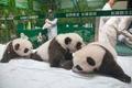 「奇跡」の三つ子パンダ、生後100日目で一般公開 中国