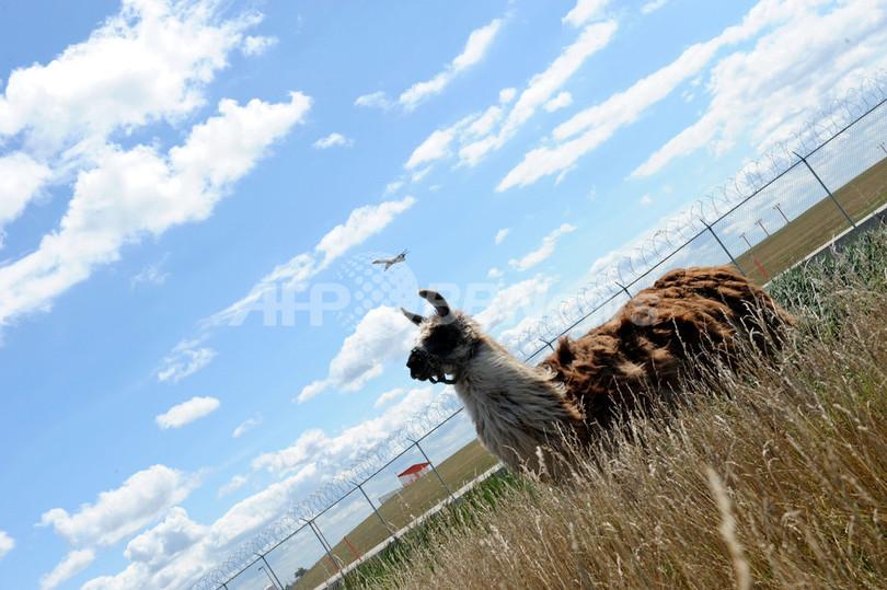 空港周辺の雑草対策に草食動物、米シカゴ
