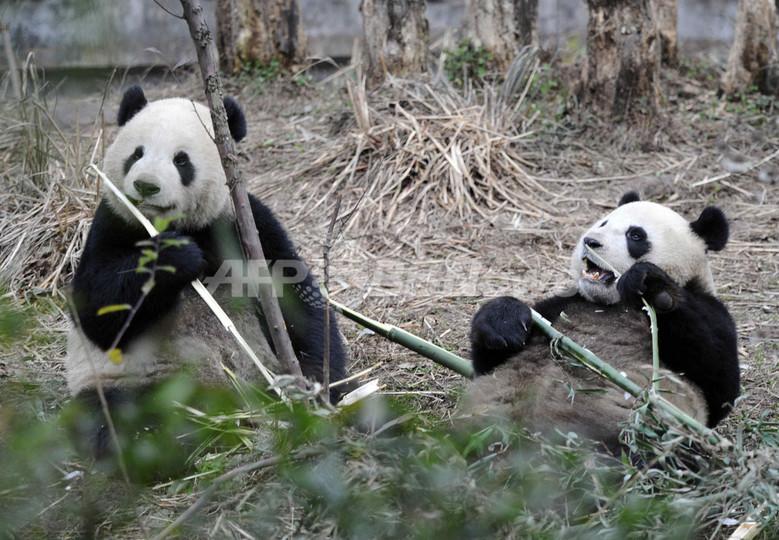 中国が台湾にパンダ2頭を贈呈、23日に台北到着