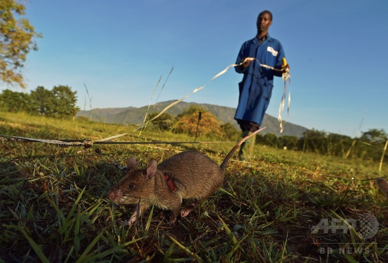 世界中で大活躍「地雷探知ネズミ」、タンザニア