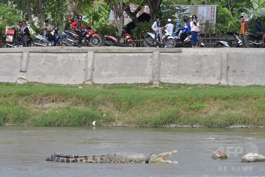 首にタイヤ1年以上 衰弱のワニ、当局が保護急ぐ インドネシア