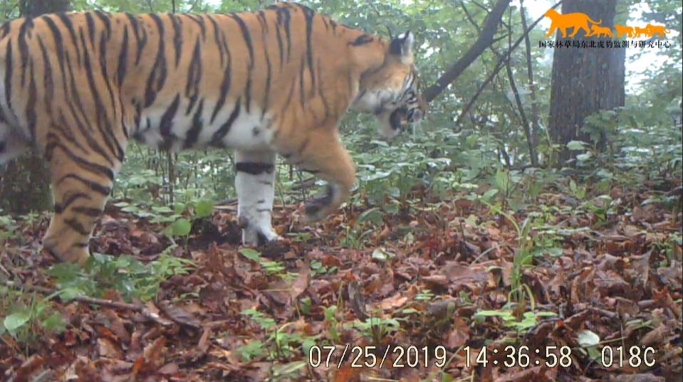 東北虎・東北ヒョウ国家公園、3年間で17頭の繁殖を確認