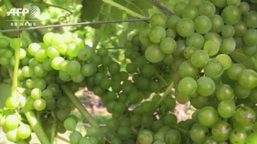 動画:北欧のワイン造り、新種ブドウで気候条件克服 味は「申し分なし」