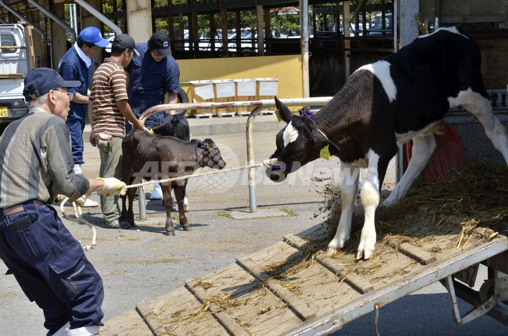 福島県全域で肉牛の出荷停止、セシウム汚染問題で