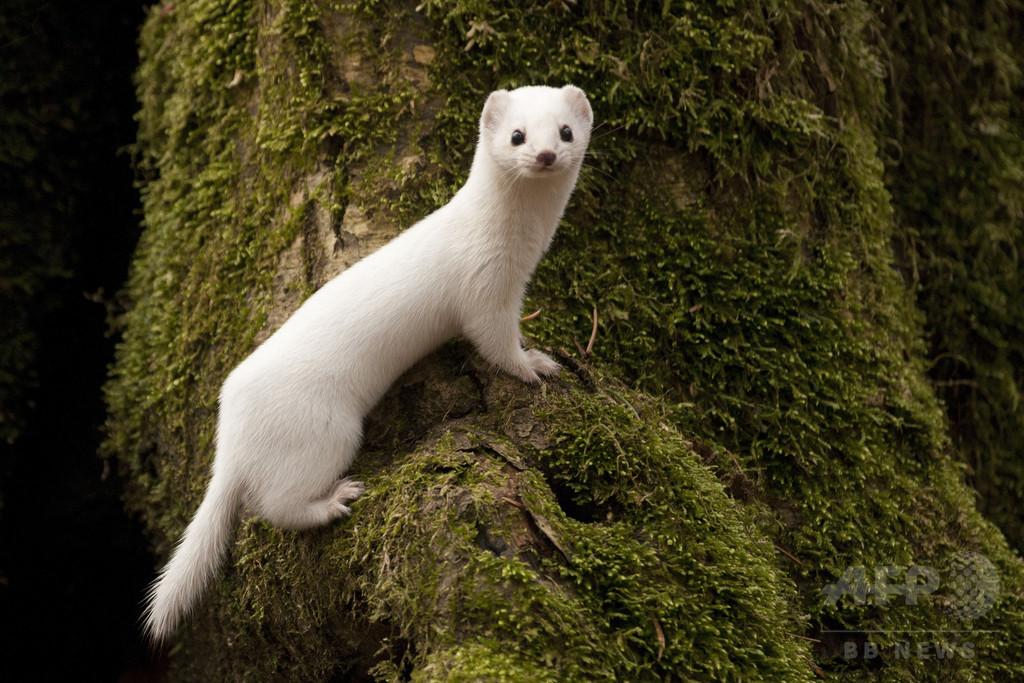冬毛のイイズナ、積雪減少で局所絶滅の恐れ 研究