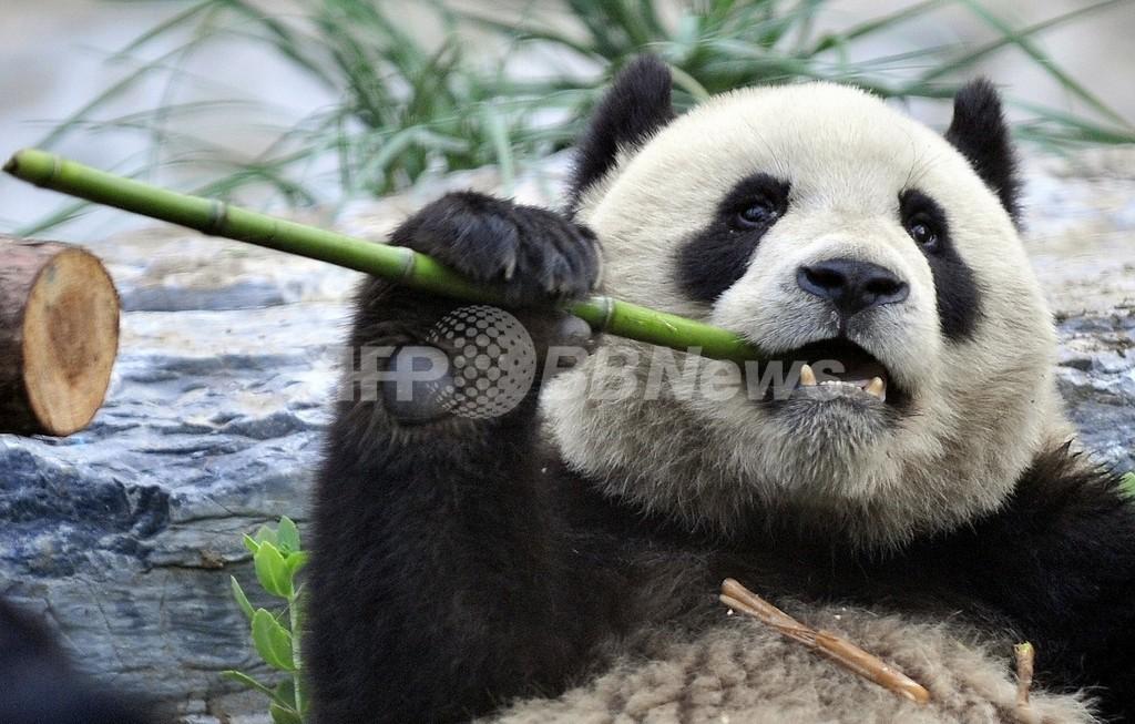 パンダがフェンス登った見物人を襲撃、中国の動物園