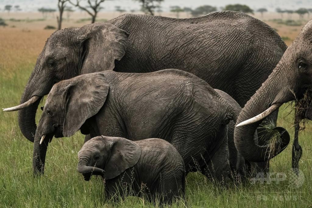 アフリカゾウ現生2種、古代種のように異種交配せず 研究