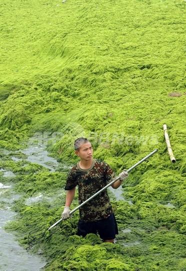 北京五輪セーリング会場、藻を「一掃」?100万トン以上除去